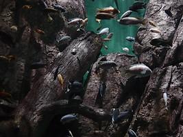 Аквариумный биотоп озера Малави